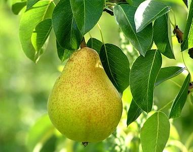 b48c3-pear
